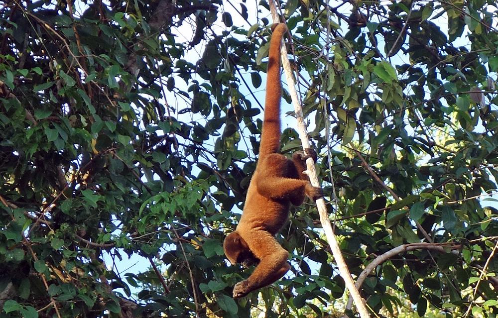 Affen Amazonas