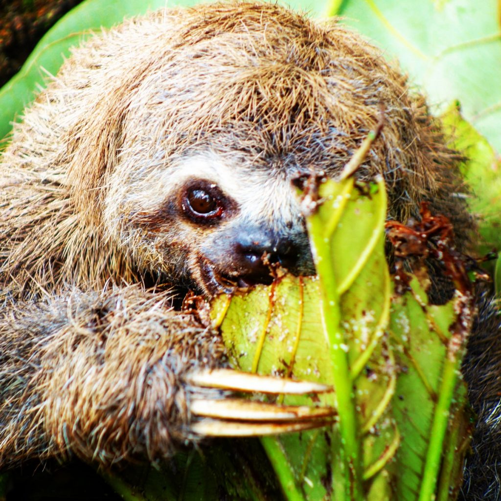 Amazonas Faultier