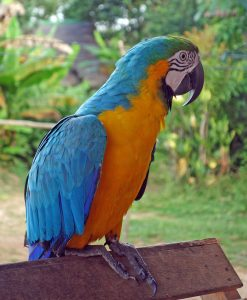 Papagei Amazonas