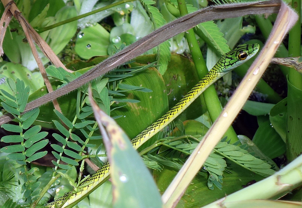 Schlange Amazonas